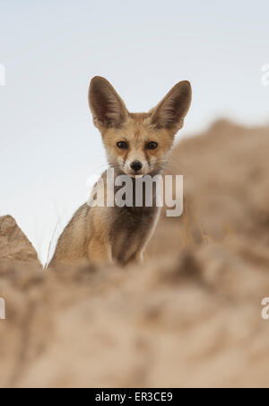 Arabian Red Fox (Vulpes vulpes arabica), Sharjah, Émirats arabes unis Banque D'Images
