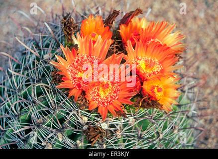 Un hameçon (cactus Ferocactus wislizenii baril), poussant dans la région du sud-ouest de la Botte Nouveau Mexique Banque D'Images