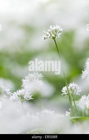 Un seul l'ail des ours (Allium ursinum) flower se dresse dans les bois à Stackpole, Pembrokeshire. Banque D'Images