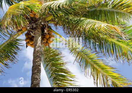 Miami Beach, Floride cocotier Banque D'Images