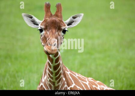 Giraffe réticulée tête avec l'espace sur la droite pour le texte