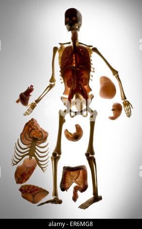 Squelette humain, jouets pour les enfants d'en apprendre davantage sur le squelette et les organes internes.