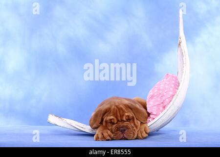 Dogue de Bordeaux Puppy Banque D'Images