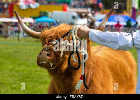 Highland cow sur show à un pays juste, Drymen, près de Glasgow, Écosse, Royaume-Uni Banque D'Images