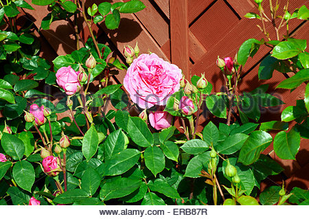 'Gertrude Jekyll' english rose rose et rouge Banque D'Images