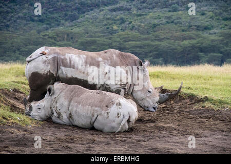 Rhinocéros blanc ou square-lipped rhinoceros (Ceratotherium simum),des profils et de veaux dans la boue, Nakuru, Banque D'Images