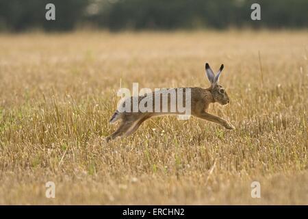 Lapin lièvre sautant