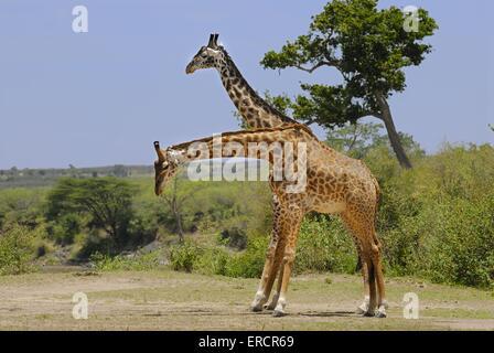 girafes Massaï Banque D'Images