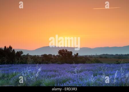Lever de soleil sur l'été un champ de lavande en Provence, France Banque D'Images