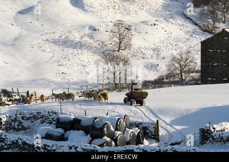 Un paysan sur un quad en tenant pour nourrir les moutons en hiver après une tempête de neige, Swaledale, UK. Banque D'Images
