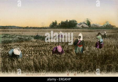 Les travailleurs japonais de la récolte du riz, de l'automne, la fin de l'ère Meiji (1868-1912). Banque D'Images
