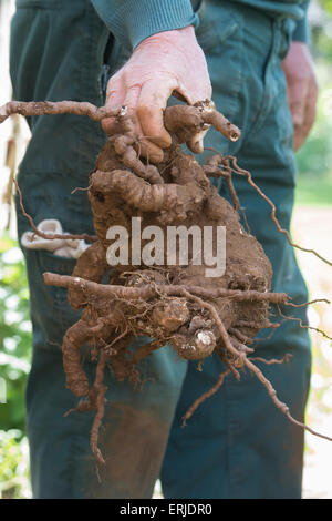 Un vieux jardinier holding déterrés Parthenocissus quinquefolia / Vigne-root Banque D'Images