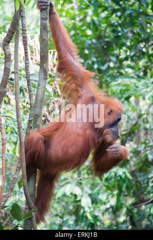 L'orang-outan, Pongo abelii de Sumatra, dans l'arbre dans le parc national de Gunung Leuser, nord de Sumatra, en Banque D'Images