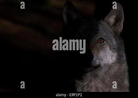 Portrait d'un loup gris dans la lumière du soleil tôt le matin. Banque D'Images