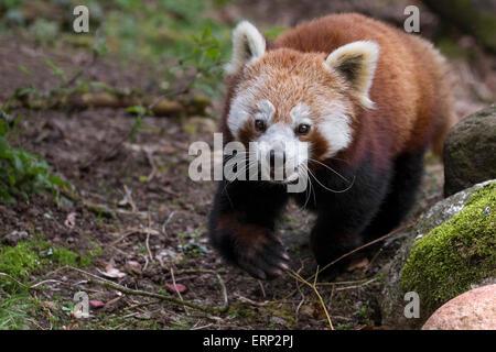 Panda rouge Banque D'Images