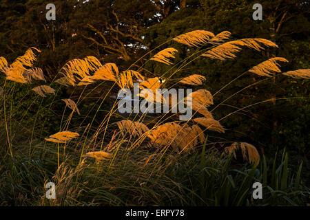 Austroderia les herbes dans les derniers rayons rougeoyants du soleil couchant à Ohakune, Nouvelle-Zélande. Banque D'Images