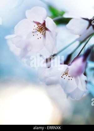 Belle fleur de cerisier fleurs sur fond de ciel bleu au lever du soleil Banque D'Images