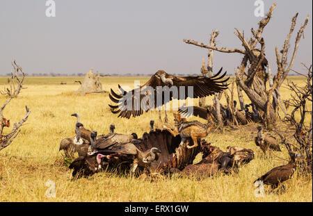 Le Chacal à dos noir (Canis mesomelas), deux vautours à capuchon (Necrosyrtes monachus) et blanc de secours (vautours Banque D'Images