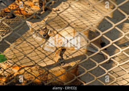 La vie sauvage; golden chacal Canis aureus; Sakkarbag; Junagadh; Gujarat Inde;