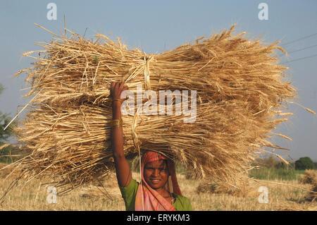 Dame transportant la récolte de blé récoltés; ensemble; District Narsinghpur Singhpur; Madhya Pradesh; Inde Banque D'Images