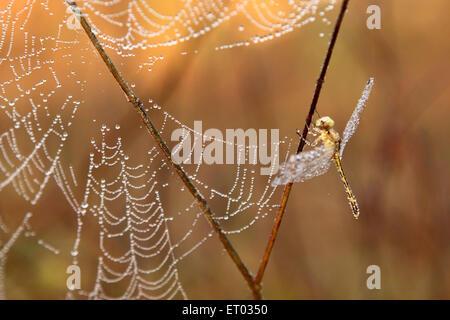 Dragon fly à côté d'araignée couverte de rosée 28 Décembre 2008 Banque D'Images