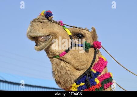 Décoré tête de chameau à Pushkar Fair de Rajasthan en Inde Banque D'Images