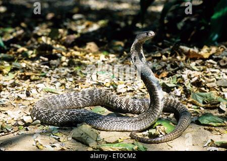 Serpent Cobra indien spectaculaire Naja naja naja Banque D'Images