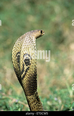 Les Indiens; Serpent cobra à lunettes Naja Naja naja Banque D'Images