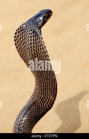 Cobra snake en position agressive; Inde Rajasthan; Banque D'Images