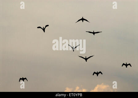 Les canards sauvages flying in sky at sunset; Pune Maharashtra; Inde; Banque D'Images