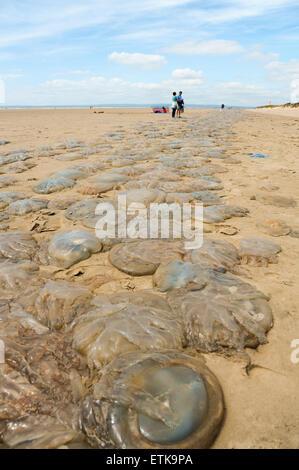 South Wales, UK, dimanche 14 juin 2015. Des milliers de méduses sont lavés à Pembrey Sands (Cefn Sidan), Pembrey Banque D'Images