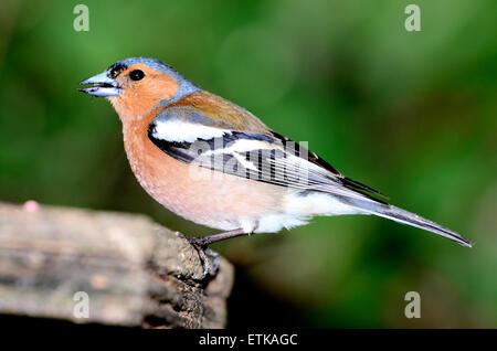 Un mâle pinson qui se nourrit d'une table d'oiseaux UK Banque D'Images