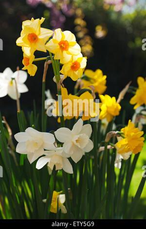Gros plan du pot de jonquilles jaunes mixtes narcissi Un jardin au printemps Angleterre Royaume-Uni Royaume-Uni Grande Grande-Bretagne
