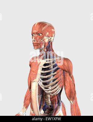 Haut du corps humain montrant les pièces de Muscle, squelette axial et les veines. Banque D'Images