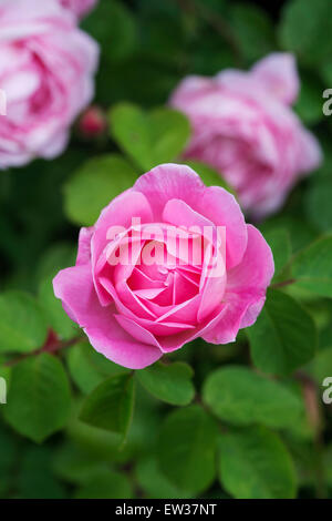 Rosa Gertrude Jekyll. Rose rose, David Austin Roses Banque D'Images