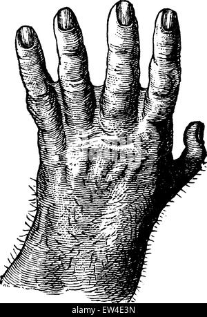La main de gorille, vintage engraved illustration. La vie dans la nature, 1890. Banque D'Images