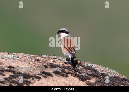 Pie-grièche écorcheur Lanius collurio,, seul oiseau sur rock, Roumanie, mai 2015