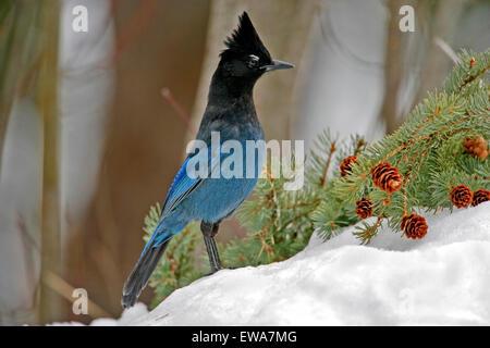 Geai de Steller debout dans la neige à la recherche de nourriture (Cyanocitta stelleri ) Banque D'Images