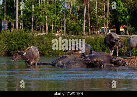 Le buffle d'eau sur l'île de DET FAIT dans la région des Mille-Îles 4 (Si Phan Don) de la rivière du Mékong - Sud, Banque D'Images