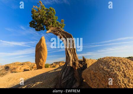 Arbre généalogique de Juniper et coniques à roche roches Jumbo dans Joshua Tree National Park California USA. Banque D'Images