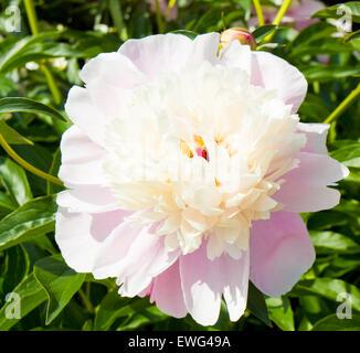 Un grand Blanc de pivoines et roses de couleurs sur les feuilles vertes.