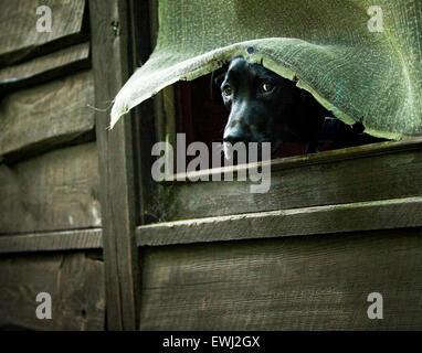 Grand noir Labrador Retriever dog coller la tête par une fenêtre d'un écran cassé vieux bois chalet recto verso Banque D'Images
