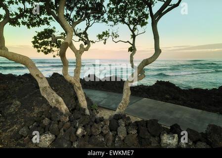 Héliotrope arbres avec l'océan. La Big Island, Hawaii. Banque D'Images