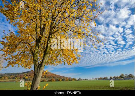 Tilleul à l'automne, weser uplands, bodenwerder, Basse-Saxe, Allemagne