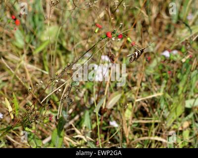 Zebra Longwing Butterfly la collecte de nectar de fleurs sauvages un Banque D'Images
