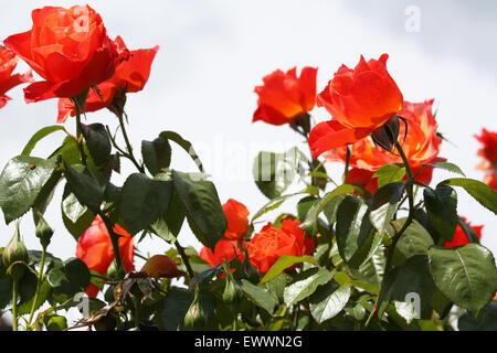 Fleurs rose orange Banque D'Images