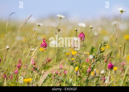 Fleurs sauvages de champ gauche à la nature Banque D'Images