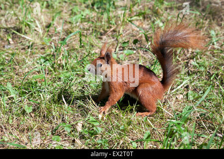 L'écureuil roux dans le Parc Lazienki, Varsovie, Pologne