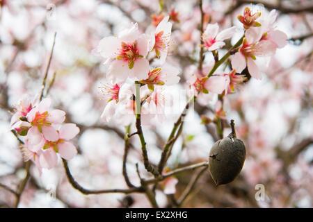 Amande mûre unique coquille de noix et de fleurs sur un arbre dans Pomos, Chypre Banque D'Images