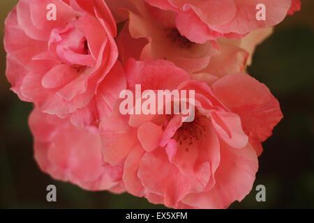 Quelques roses rouges symbole universel de l'amour et de la beauté Banque D'Images